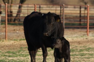 Highliner Bull Calf