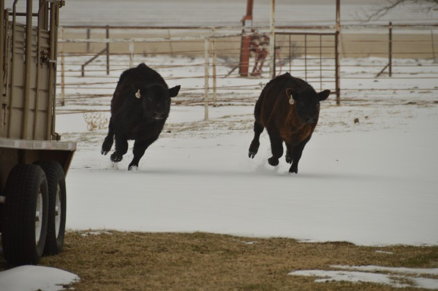Spring Calves Running in the Snow
