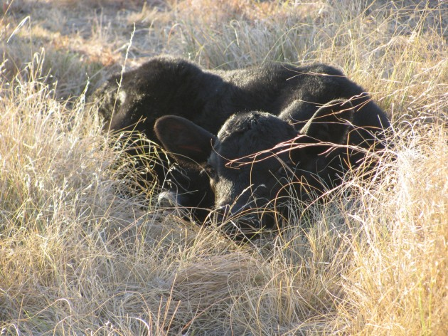 baby calf bed down in grass